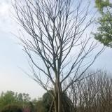 四川精品朴树价格 精品朴树供应销售