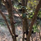 台湾嘉宝果树价格 台湾嘉宝果树基地
