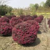 精品红花继木球价格 红花继木球种植基地