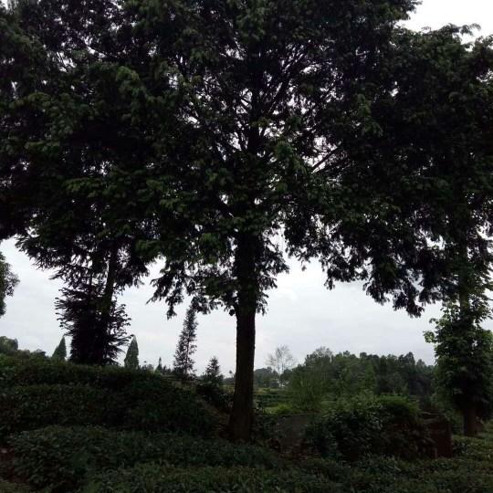 四川精品红豆杉价格 红豆杉产地供应