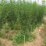 2公分木槿小苗价格 江苏木槿基地