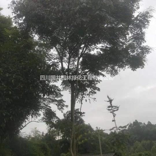 优质栾树常年供应价格 栾树基地直销