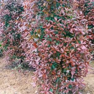 湖南红叶石楠树苗价格 长沙红叶石楠柱基地