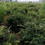 100公分高火棘球价格 江苏火棘球基地