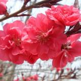 江苏红叶桃基地 5公分江苏红叶桃价格