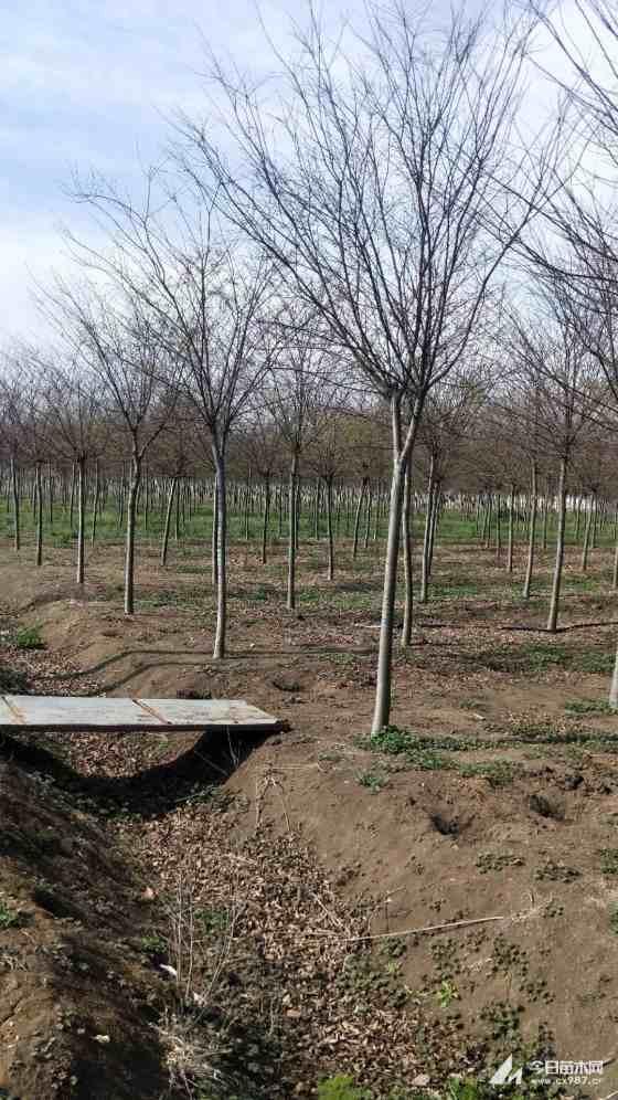 江苏榉树供应价格 榉树批发采购