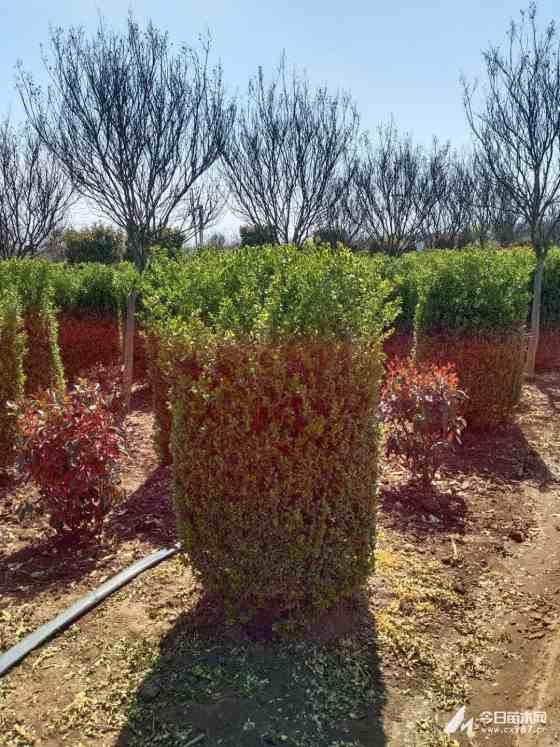 高1.5米瓜子黄杨柱价格 瓜子黄杨柱基地直销
