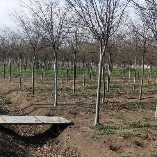 8公分榉树价格 江苏榉树基地供应