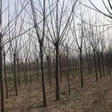 宿迁10公分苦楝树价格 苦楝树供应基地