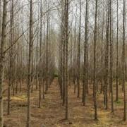 江苏10公分水杉价格 水杉种植基地