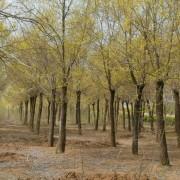 江苏15公分金叶榆价格 金叶榆种植基地