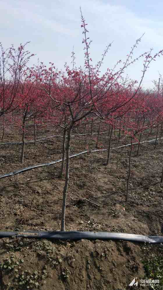 江苏红枫供应价格 红枫多少钱一棵