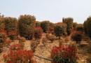 江苏高1米红叶石楠柱价格 红叶石楠柱多少钱一棵