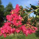 5公分紫薇树价格 江苏紫薇树基地