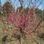 150公分红梅树苗价格 江苏红梅树苗基地