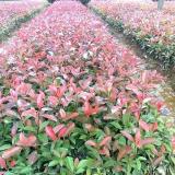 25公分红叶石楠价格 江苏红叶石楠基地