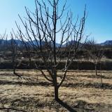 15公分八棱海棠树价格 河北八棱海棠基地批发