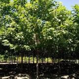 8公分梓树出售价格