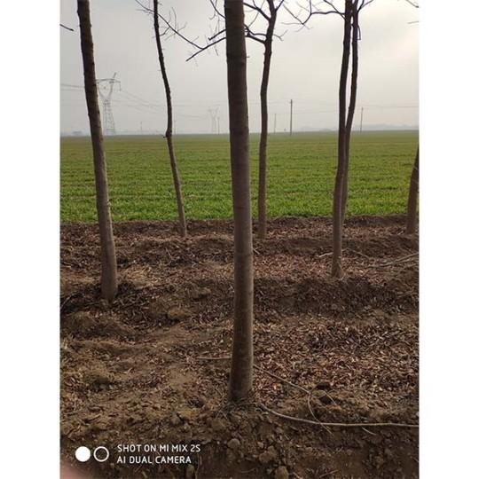 6-10公分黄连木