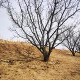 15-20公分山杏树价格 山杏树基地特选