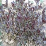 紫叶锦带花床苗价格 江苏紫叶锦带花床苗基地