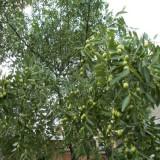 20公分枣树价格 江苏枣树基地