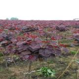 6公分紫叶紫荆价格 江苏紫叶紫荆基地