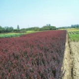 20公分冠幅紫叶小檗球 江苏紫叶小檗球基地