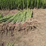 江苏水蜡苗供应价格 水蜡苗种植基地