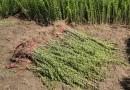 高60公分水蜡苗价格 江苏水蜡苗多少钱一棵