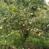 高度200公分柠檬树价格 柠檬树基地批发