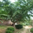 18公分银杏树价格 江苏银杏树基地