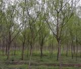 安徽黄山栾树  黄山栾树图片  5公分黄山栾树