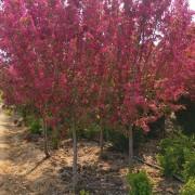3公分北美海棠价格 江苏北美海棠种植基地