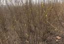 高1米丛生连翘价格 江苏丛生连翘多少钱一棵