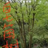 高9米重庆皂角树价格  重庆大皂角树出售