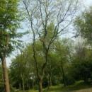 4公分乌桕树价格 江苏乌桕树基地
