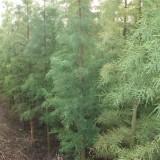 5公分池杉供应 江苏池杉基地