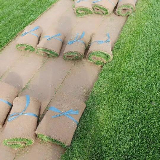 马尼拉草坪价格 江苏马尼拉草坪批发价格