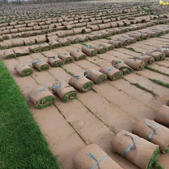 混播草坪价格 混播草基地批发价格