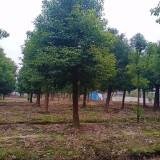 12公分15公分香樟树价格 江苏香樟树苗圃