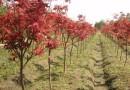 红枫 日本红枫树苗 红枫基地