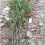 湖南罗汉松小苗价格 长沙造型罗汉松苗木批发基地
