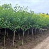 地径5公分紫丁香丛生丁香价格 紫丁香丛生丁香基地批发