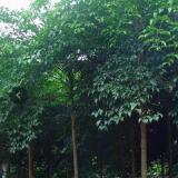 广西幸福树大树出售