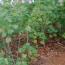 湖南木芙蓉价格优惠出售 长沙芙蓉花生产基地