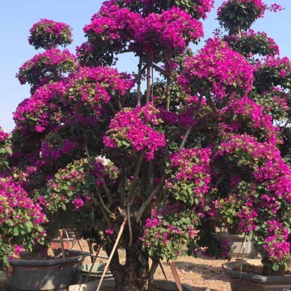 紫色造型三角梅桩景基地低价批发