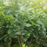 树葡萄沙巴嘉宝果 嘉宝果树葡萄苗价格
