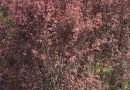 丛生红梅价格 丛生红梅批发价格