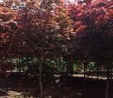 江苏日本红枫价格 日本红枫基地批发